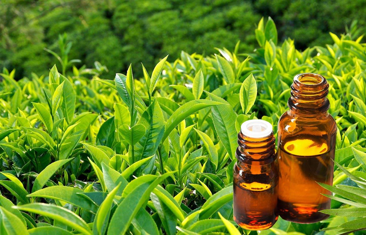 5 lợi ích tuyệt vời của tinh dầu trà xanh cho sức khỏe và sắc đẹp